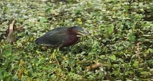 Πράσινο πουλί ερωδιών Φλώριδα ΗΠΑ απόθεμα βίντεο