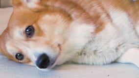 Προσοχή για την τρίχα σκυλιών απόθεμα βίντεο