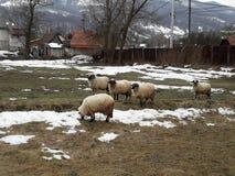 Πρόβατα και κριοί στοκ φωτογραφίες