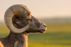 Πρόβατα Bighorn με κλειστή τη μάτι αντιμετώπιση δεξιά στοκ εικόνες