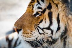 Πρόσωπο τιγρών λεπτομερώς από τη αριστερή πλευρά στοκ φωτογραφία