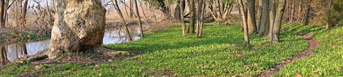 Πρόωρο άγριο σκόρδο άνοιξη στοκ εικόνες με δικαίωμα ελεύθερης χρήσης