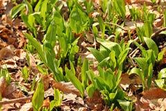 Πρόωρο άγριο σκόρδο άνοιξη στοκ φωτογραφία με δικαίωμα ελεύθερης χρήσης
