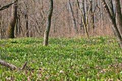 Πρόωρο άγριο σκόρδο άνοιξη στοκ φωτογραφία