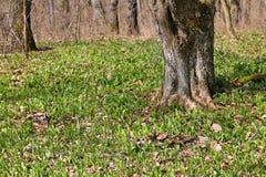 Πρόωρο άγριο σκόρδο άνοιξη στοκ φωτογραφίες με δικαίωμα ελεύθερης χρήσης