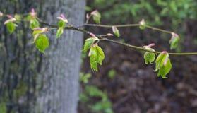 Πρώτα εκκολάπτοντας φύλλα σημύδων μετά από τη βροχή στοκ εικόνα