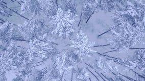 Πτήση καμερών επάνω από την κορυφή των χιονισμένων νέων πεύκο-δέντρων στο όμορφο χειμερινό δάσος χωρίς τον εναέριο τηλεοπτικό πυρ απόθεμα βίντεο