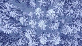 Πτήση καμερών επάνω από treetops των χιονισμένων δέντρων πεύκων στο όμορφο μπλε χειμερινό δάσος χωρίς τον εναέριο τηλεοπτικό πυρο φιλμ μικρού μήκους