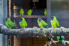 Πτηνοτροφία, σύνολο κλουβιών με τα nanday parakeets, δημοφιλή κατοικίδια ζώα στα τροπικών και ζωηρόχρωμων πουλιά πτηνοτροφίας, απ στοκ εικόνα