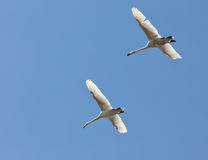 А pair of swans flying in the blue sky Stock Photo