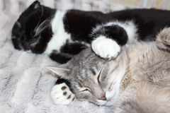 Саt. Sleeping cat in embraces of a black Royalty Free Stock Photo