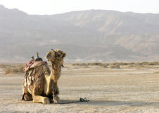 Сamel in the desert of Isreal Stock Images