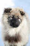 Сaucasian sheepdog Royalty Free Stock Image