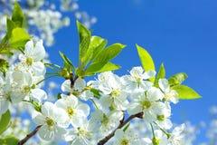 Сherry blossoms Stock Photos