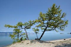 Сoniferous trees on sand, coast of Baikal lake. Royalty Free Stock Photography