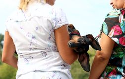 Ð¡onversation is not about me. Dog breed dachshund, which lies on hands of housewives (women), hanging her head, looks into the camera. Women, photographed royalty free stock photos