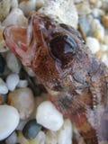 Агрессивные небольшие рыбы в продуктах печатей всхода макроса песка высококачественных стоковое фото