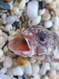 Агрессивные небольшие рыбы в продуктах печатей всхода макроса песка высококачественных стоковая фотография rf