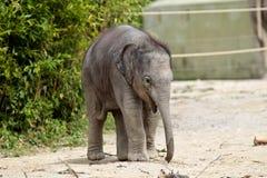 Азиатский слон, maximus Elephas также вызвал слона Азиатский стоковое изображение