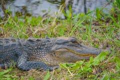 Американский аллигатор Mississipplensis на охраняемой природной территории саванны национальной, Hardeeville, Jasper County, Южно стоковое изображение