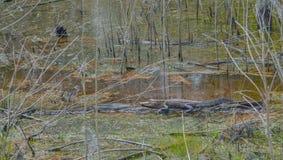 Американский аллигатор Mississipplensis на охраняемой природной территории саванны национальной, Hardeeville, Jasper County, Южно стоковые изображения