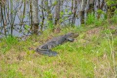 Американский аллигатор Mississipplensis на охраняемой природной территории саванны национальной, Hardeeville, Jasper County, Южно стоковая фотография rf