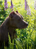 American pitbull. American Pit Bull Terrier sitting in a field with flowers Stock Images