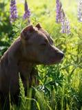 American pitbull stock images