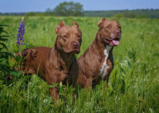 American pitbulls Stock Image