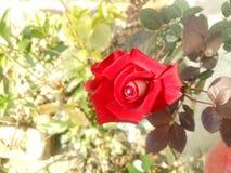 Английская красная роза стоковые фото