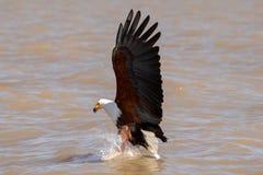 Африканский орел моря, Кения, Африка стоковые фото