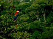 Ара шарлаха в джунглях эквадора с тропическим тропическим лесом на заднем плане стоковые фотографии rf