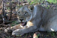Аdult lioness in Kruger Park, South Africa, stock images