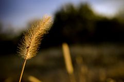 Аutumn grass with gold colors royalty free stock image