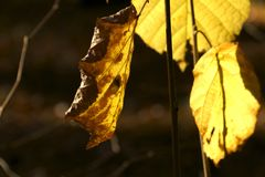 Аutumn, leaf, twig, twig with a leaf yellow royalty free stock photo