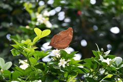Бабочка Брауна садить на насест на белом цветке стоковое изображение rf