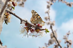 бабочка, весна собирает пыльцу. Butterfly spring collects pollen apricot tree is very beautiful flowers Stock Image