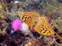 Бабочка коричневого цвета Keizersmantel крупного плана на предпосылке цветка стоковое фото