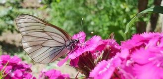 Бабочка макроса приземленная на розовый цветок стоковые изображения rf