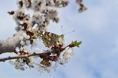 Бабочка собирает пыльцу абрикосового дерева. Blossoming fruit tree, butterfly collecting pollen Royalty Free Stock Photo