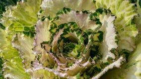 Белая и зеленая орнаментальная цветная капуста стоковые фотографии rf