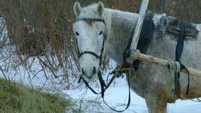 Белая лошадь сток-видео