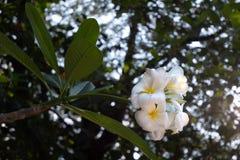 Белые и желтые цветки plumeria стоковое фото rf
