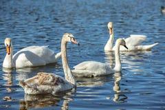 Белые лебеди плавают на поверхности озера стоковое фото rf