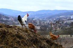 Белые петух и цыплята стоковая фотография