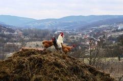 Белые петух и цыплята стоковые изображения