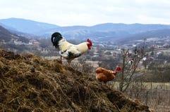 Белые петух и цыплята стоковое фото rf