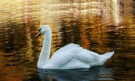 Белый лебедь в воде / White swan in the water.  Stock Images