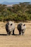 Белый носорог в Кении, Африке стоковая фотография