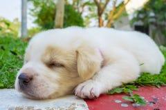 Белый спать doggy стоковое фото rf